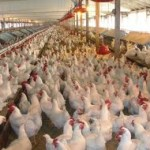 More Chicken Wings, More Environmental Challenges