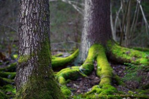 © Pinkbadger | Dreamstime.com - Conifer Tree In Wilderness Area Photo